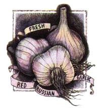 Organic Red Russian Garlic.