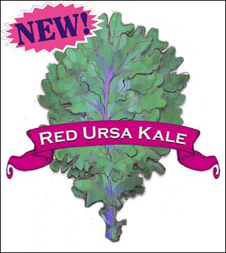 Kale Seed. Organic Red Ursa. Pkt.