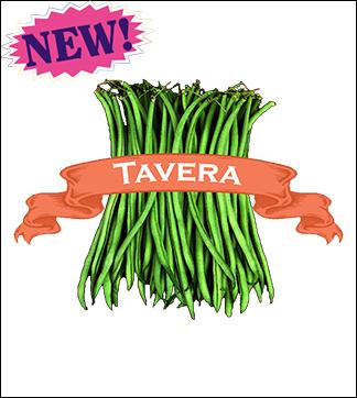 Bean Seed, Organic Tavera. Pkt.