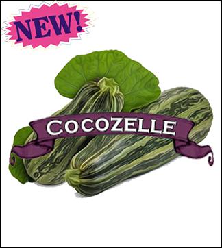 Zucchini Seed. Organic Cocozelle. Pkt.