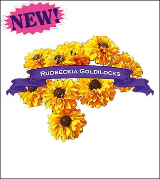 Flower Seed, Organic Goldilocks Rudbekia. Pkt.